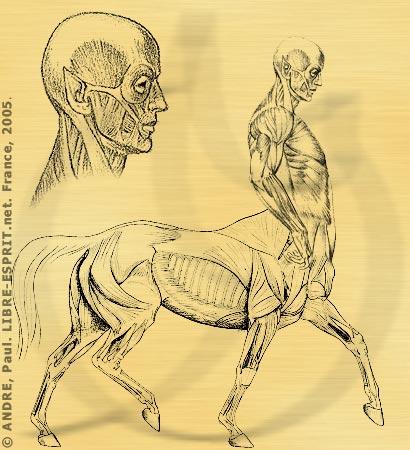 Étude de l'anatomie centaure